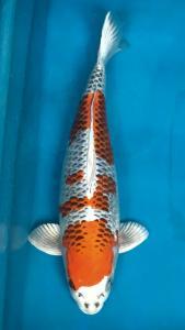 134-Dogama Jr-arab-Jakarta-Hikarimoyo-65 cm-Female-import