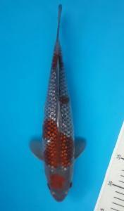 193-Slamet kurniawan-jakarta-gang koi-solo-ginrin b 34cm-lokal-081283113003