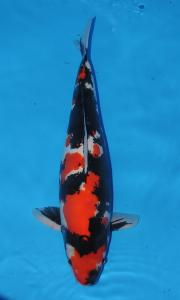 607-royal holly water-jakarta koi center-klaten-doitsu-55cm