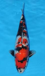 612-royal holly water-jakarta koi center-klaten-ginrin A-45cm