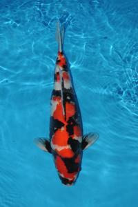 650-royal holly water-jakarta koi center-klaten-showa-58cm
