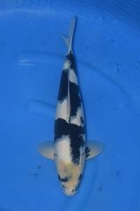643-royal holly water-jakarta koi center-klaten-shiro-45cm