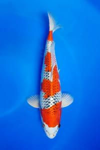631-royal holly water-jakarta koi center-klaten-hikarimoyomono-43cm