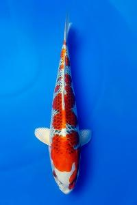 630-royal holly water-jakarta koi center-klaten-hikarimoyomono-43 cm.