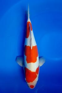 608-royal holly water-jakarta koi center-klaten-doitsu60 cm