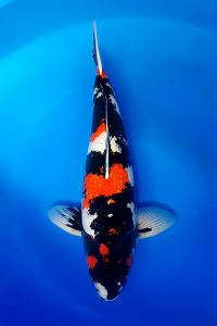 613-royal holly water-jakarta koi center-klaten-ginrin A60.-cm-male