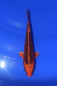 673-sukandi-jakarta koi center-batam-hikarimono-18cm