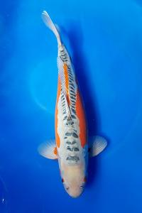 655-royal holly water-jakarta koi center-klaten-shusui-60cm
