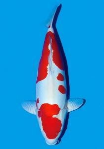 765-Doitsu Kohaku 62 cm