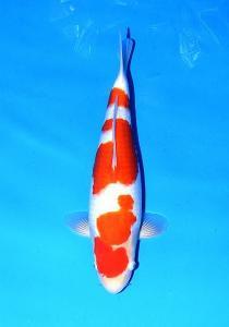 753-Kohaku 47 cm