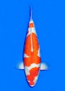 762-Ginrin Kohaku 65 cm