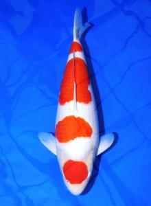 761-Kohaku 65 cm
