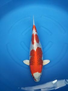 632-royal holly water-jakarta koi center-klaten-hikarimoyomono-57cm